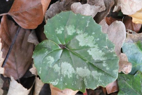 10 cyclamen pseudibericum veneux 5 avril 2015 005 (8).jpg