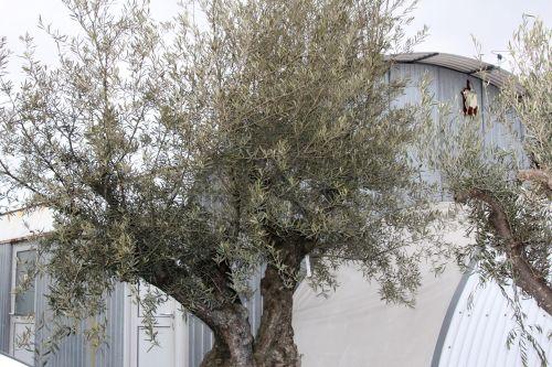 oliviers 3 17 fev 2012 002.jpg
