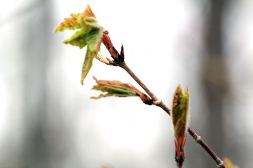 1 acer triflorum gb 9 avril 2012 105.jpg