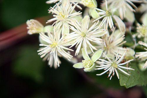 clematis fleurs 12 juil 2010 p 007.jpg