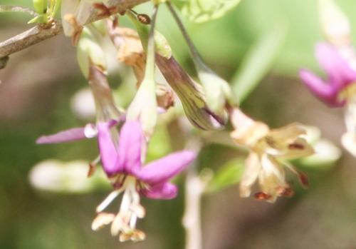 4 lycium chinense fleur romi 26 juil 2017 006 (2).jpg