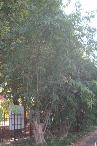 7 ligust ch paris 10 oct  2010 104.jpg