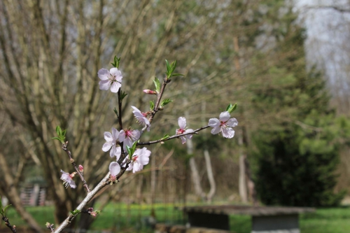 1 prunus ingrid romi 1 avril 2015 029.jpg