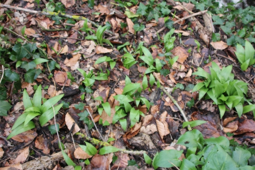 6 allium ursinum veneux 15 fev 2016 013.jpg
