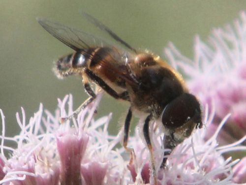 5 abeille près romilly 26 août 2012 040.jpg