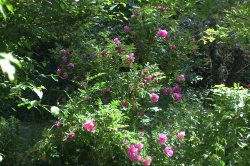 9 rosa rugosa romi 4 juin 2015 013 (1).jpg