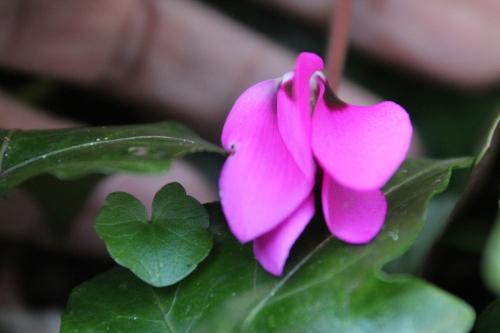5 cyclamen pseudibericum veneux 5 avril 2015 005 (5).jpg