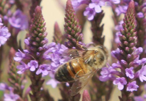 verbena hastata 8 abeille paris 21 juil 2012 108.jpg
