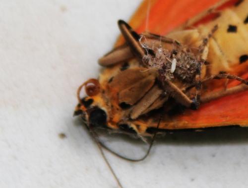 6 callimorpha quadripunctaria 002 veneux 1 août 2015.jpg