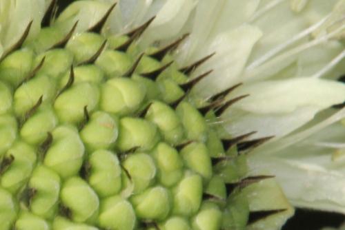 b cephalaria gigantea romi 30 sept 2014 027 (1).jpg