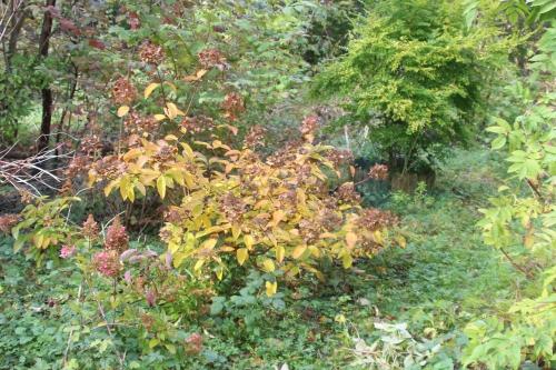 hydrangea romi 18 oct 2015 022.jpg