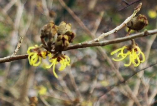 hamamelis arnold fruits romi 2 fev 2017 002.jpg