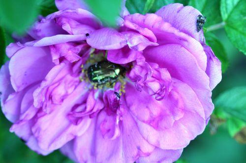 rosa romi 21 mai 168.jpg