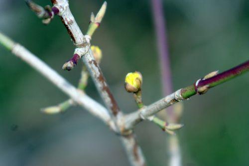 cornus officinalis romi 1 fev 2014 008.jpg