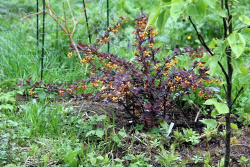 1 berberis ottaw romi 28 avril 2012 097.jpg