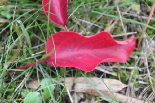 3 pyrus calleryana barres 13 oct 2012 078.jpg