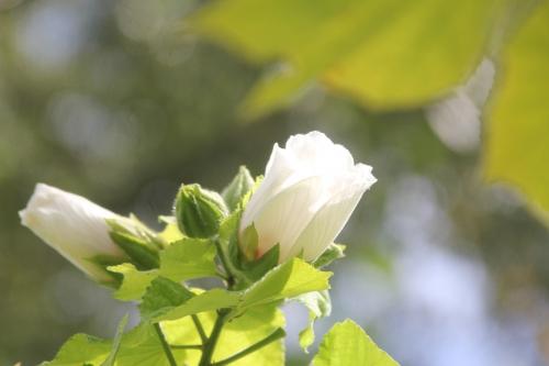 4 hibiscus paramutabilis romi 12 sept 2017 006.jpg