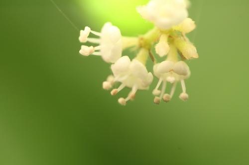 viburnum foet 14 juil 2014 012.jpg