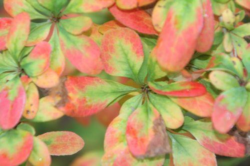 3 berberis amurensis rugidicans gb 6 oct 2012 025 (3).jpg