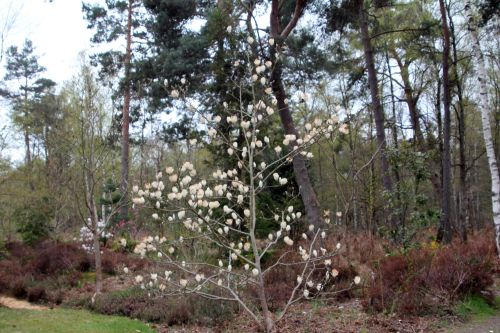 magnolia soul lennei alba gb 9 avril 2012 127.jpg