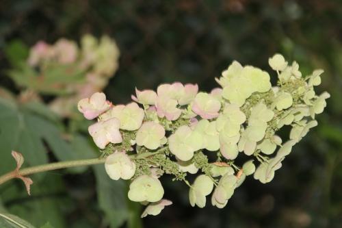 3 hydrangea quercifolia snow veneux 29 juil 2015 002.jpg