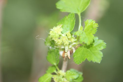 1 ribes alpinum mâle17 avril 2014 034.jpg