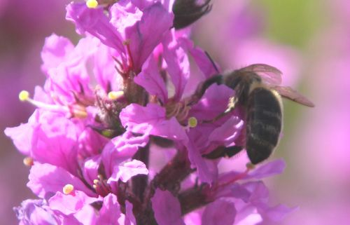 e lythrum sal paris 2 juil 2011 309.jpg