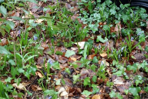 scilla bifolia veneux 19 mars 2013 010 (2).jpg