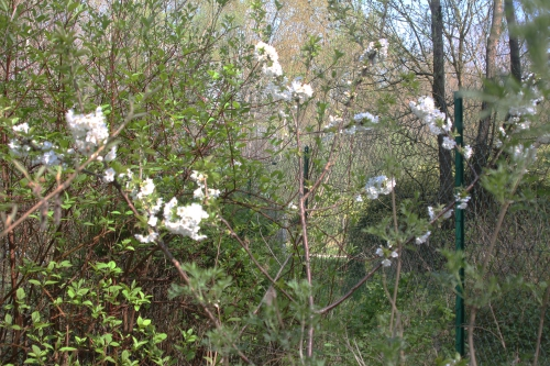 3 cerisier sweetheart romi 4 avril 2017 001 (2).jpg