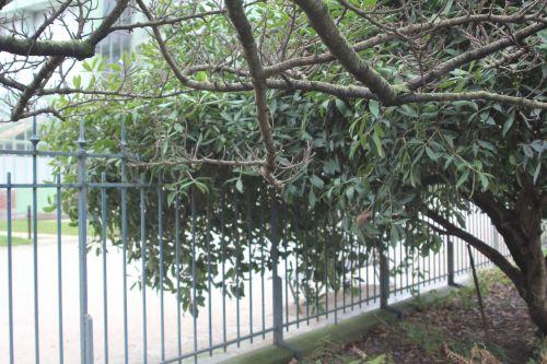 osmanthus armatus 2 paris 31 déc 2011 113 (1).jpg