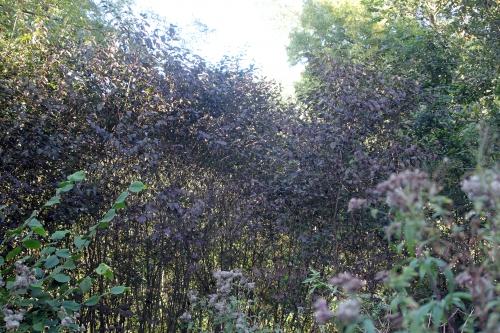 7 cornus sanguinea romi 1 oct 2012 010 (1).jpg