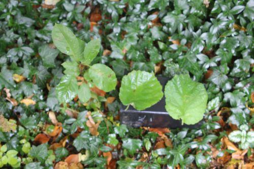 noisetier 1 arborescens radiata 1 nov 2012 004.jpg