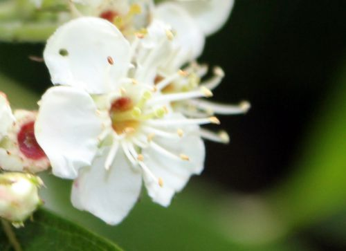 crataegus pedicellata fl romi 23 mai 2014 029 (1).jpg