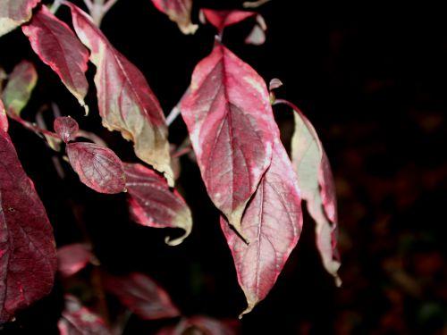 2 cornus florida cherokee rec 002.jpg
