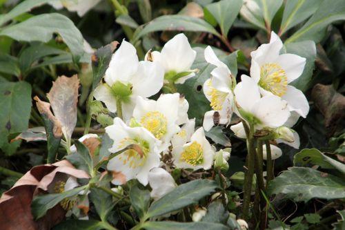 1 helleborus niger 3 mars 2012 043.jpg