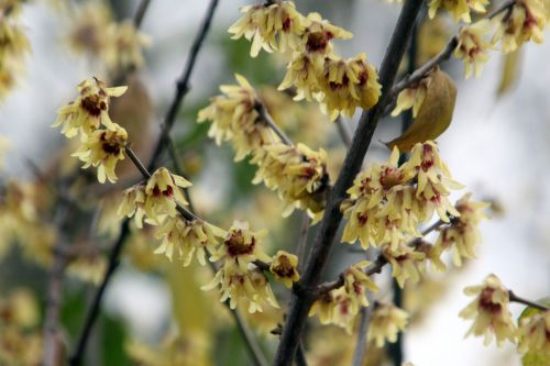 3 chimonanthus praecox paris 24 déc 2012.jpg