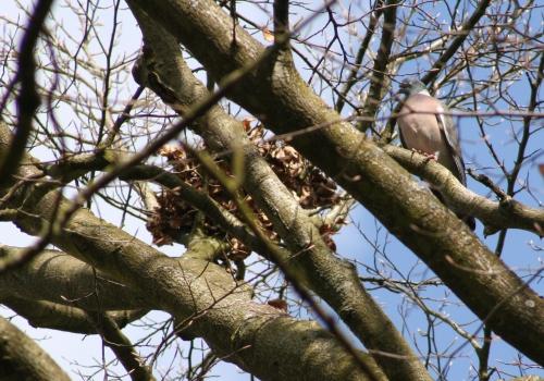 pigeon 29 mars 004.jpg