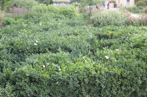 5 buxus sempervirens paris 21 juil 2012 042.jpg