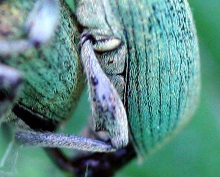 5 phyllobius écailles  romi 17 mai 071.jpg