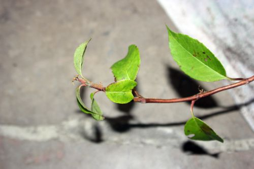 hydrangea semiola 002.jpg