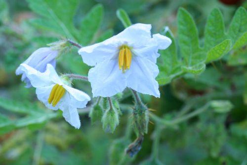 solanum sisymb fleurs 25 sept (28).jpg