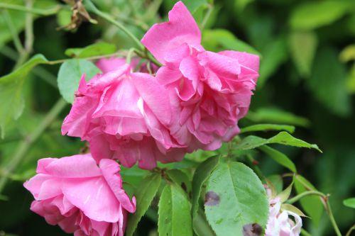 2 rosa odorata marnay 8 mai 2014 072 (2).jpg