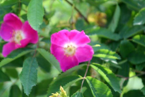 rosa nitida paris 4 mai 106.jpg