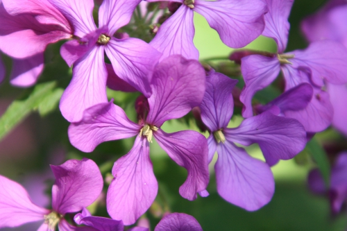 6 lunaria veneux 9 avril 2011 018.jpg
