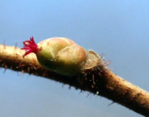 corylus fleur 19 fev 007.jpg