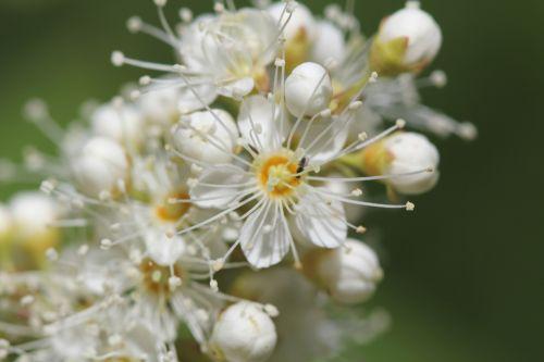 8 sorbaria sorbifolia romi 13 juin 2012 001 (118).jpg