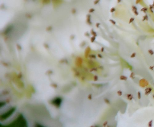 12 crataegus laev fleur marnay 8 mai 2014 078.jpg