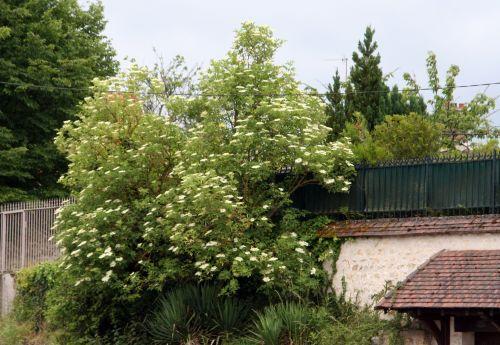 nigra veneux 3 juin 2008 186.jpg
