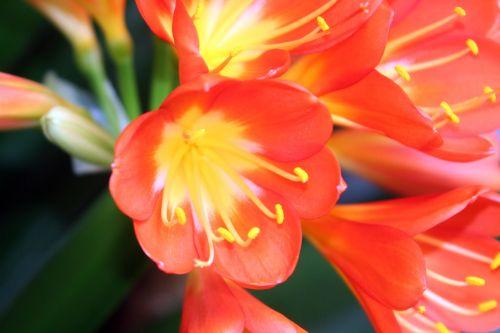 clivia fleur face veneux 14 avril 2010.jpg