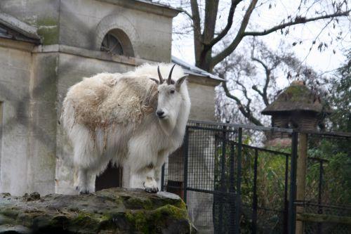 chèvre paris 9 fev 133.jpg